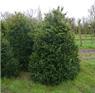 buxus_rotundifolia3_kl
