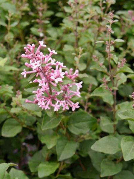 Syringa 'Pink Perfume ®' / Zwerggartenflieder 'Pink Perfume'
