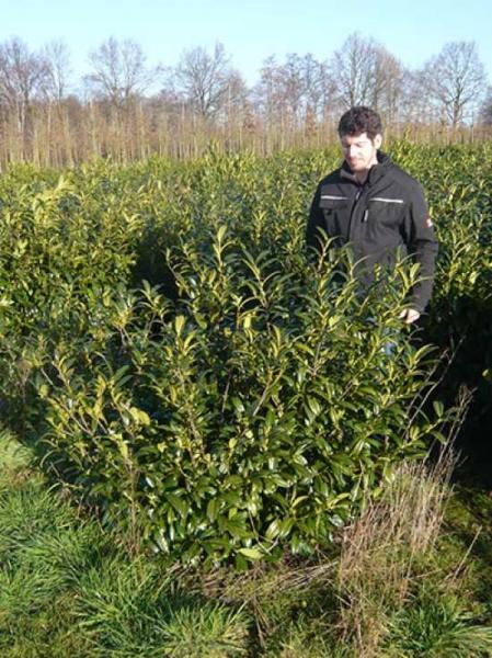 Prunus laurocerasus 'Schipkaensis Macrophylla' / Kirschlorbeer 'Schipkaensis Macrophylla' 125-150 cm mit Ballierung