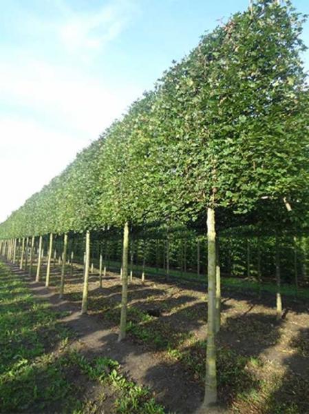 Acer campestre 'Elegant' / Feld-Ahorn 'Elegant' 'Hochstamm-Spalier' H:200 B:220 T:20 (Stamm 225 cm)