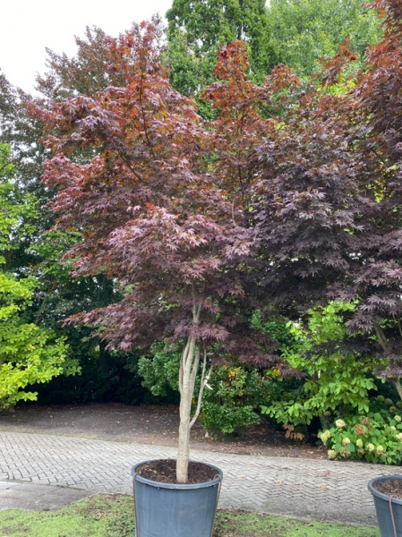 Acer palmatum 'Bloodgood' Schirm 250-300 cm breit x 375-400 cm hoch / Fächer-Ahorn (Nr.113)