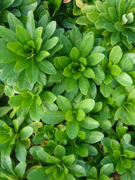 Euphorbia amygdaloides var. robbiae / Garten-Wolfsmilch