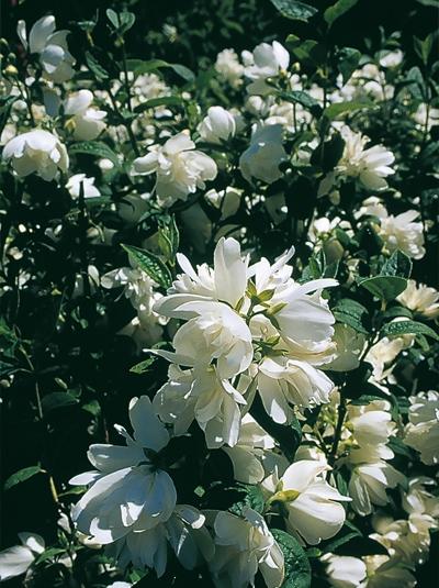 Philadelphus Snowbelle Garten Jasmin Snowbelle Günstig Kaufen