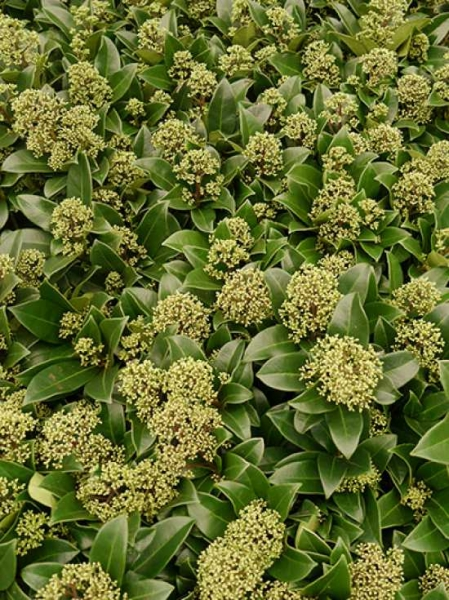 Skimmia japonica 'Fragrant Cloud' / Japanische Skimmie 'Fragrant Cloud'