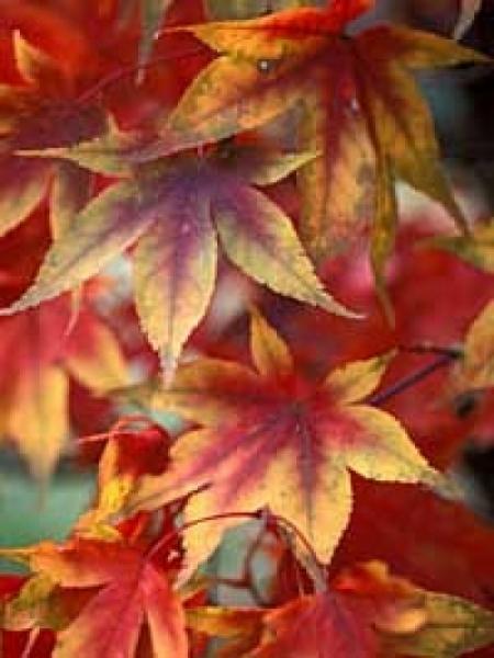 Acer palmatum 'Osakazuki' / Japanischer Ahorn / Fächerahorn 'Osakazuki'
