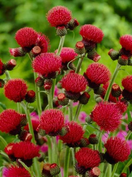 Cirsium rivulare 'Atropurpureum' / Purpur-Kratzdistel