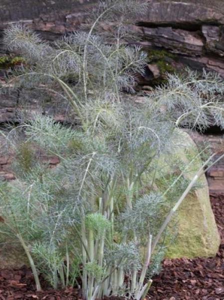 Foeniculum vulgare 'Purpureum' / Rotlaubiger Fenchel