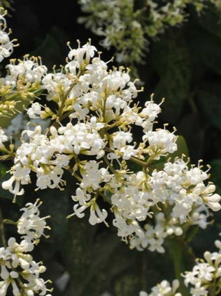 Ligustrum japonicum / Japanischer Liguster