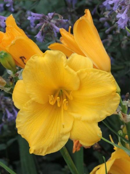 Hemerocallis hybrida 'Stella de Oro' / Garten-Taglilie / Beet-Taglilie
