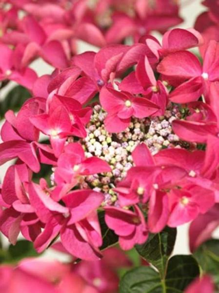 Hydrangea macrophylla 'Lady in Red'® / Teller-Hortensie 'Lady in Red'®