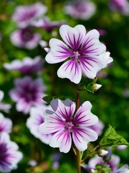 Malva sylvestris 'Zebrina' / Garten-Malve 'Zebrina'