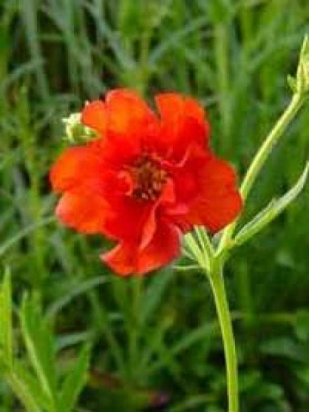 Geum chiloense Feuerball 'Mrs Bradshaw' / Garten-Nelkenwurz