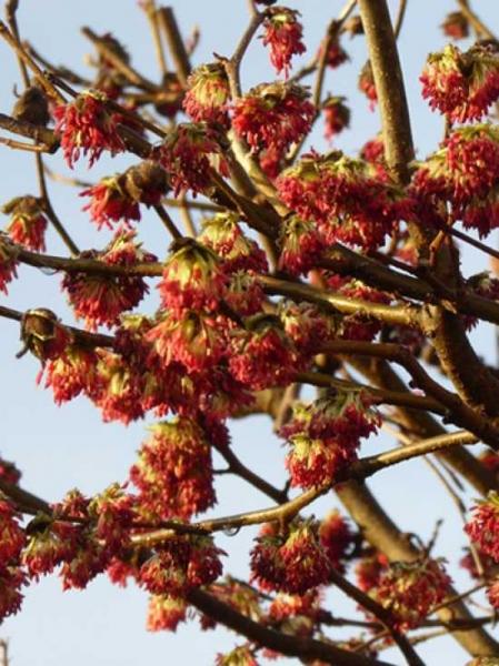 Parrotia persica Dachspalier / Eisenholzbaum / Parrotie
