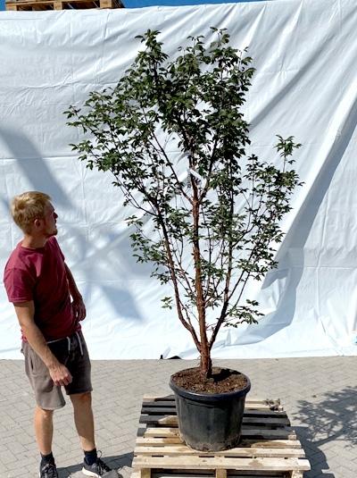 Acer griseum / Zimt-Ahorn 200-250 cm (1200)