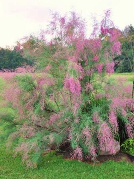 Heide-Tamariske Pink Cascade 80-100cm Tamarix ramosissima
