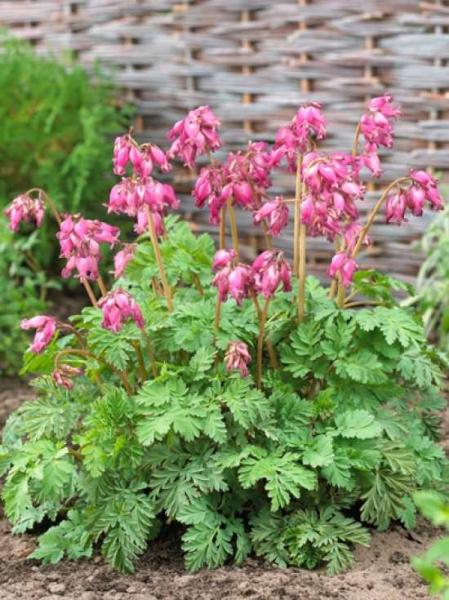 Dicentra formosa 'Luxuriant' / Zwergige Garten Herzblume