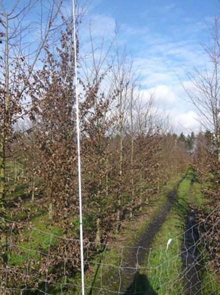 Carpinus betulus / Hainbuche 300-350 cm Solitär mit Drahtballierung