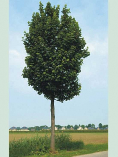 Acer pseudoplatanus 'Rotterdam' / Berg-Ahorn 'Rotterdam'