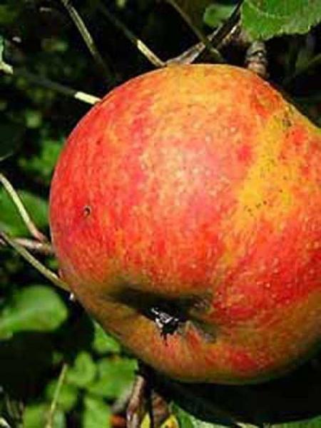 Malus domestica 'Roter Boskoop' / Apfel Roter Boskoop 'Hochstamm-Spalier' H:160 B:160 T:20 (Stamm 210 cm)