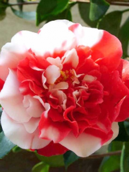 Camellia japonica 'General Coletti' / Japanische Kamelie 'General Coletti'