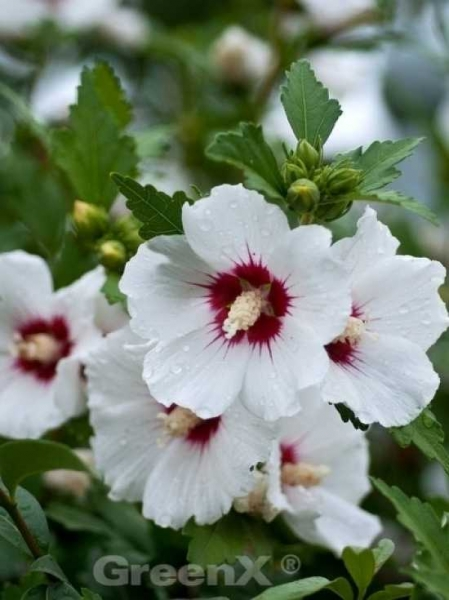 Hibiscus syriacus 'Helene' / Garten-Eibisch 'Helene' / Strauch-Eibisch 'Helene'