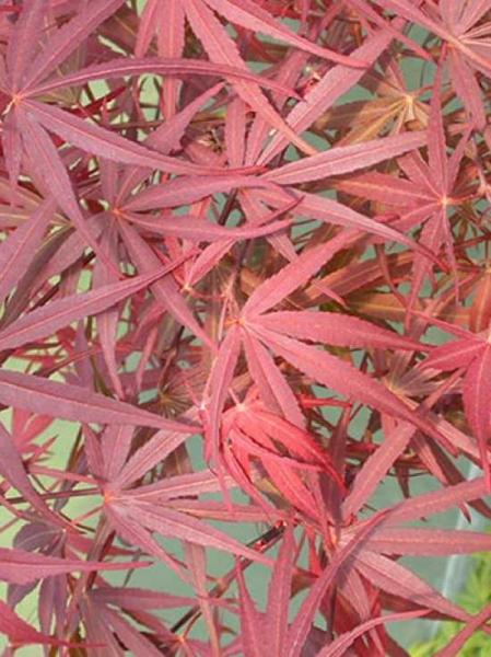 Acer palmatum 'Pevé Dave' / Japanischer Fächerahorn 'Pevé Dave'