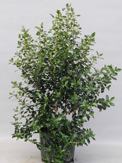 Osmanthus heterophyllus / Ilexblättrige Duftblüte 100-125 cm 20-Liter Container