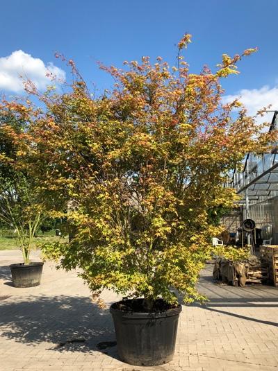 Acer palmatum 'Ueno-yama' / Japanischer Fächerahorn 'Ueno-yama' 250-300 cm (1136)