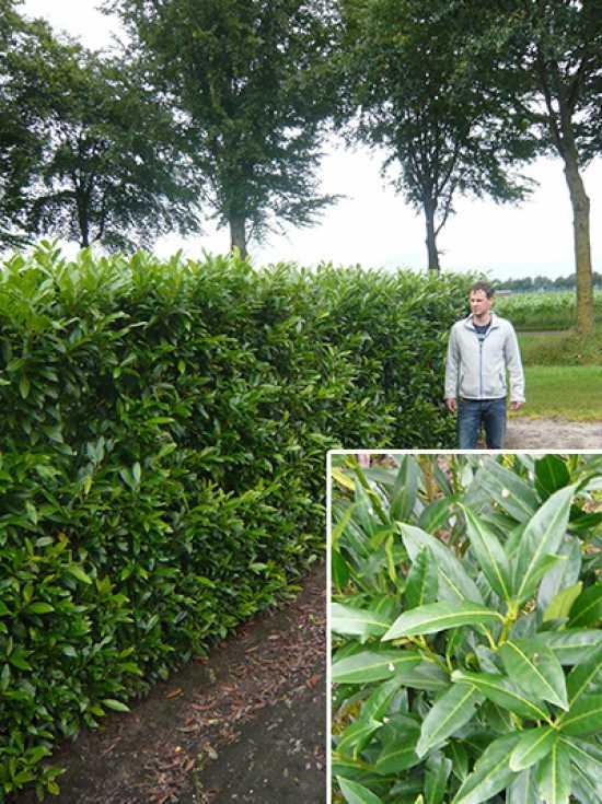 prunus laurocerasus 39 herbergii 39 kirschlorbeer 39 herbergii 39 fertighecke heckenelement 180 cm. Black Bedroom Furniture Sets. Home Design Ideas