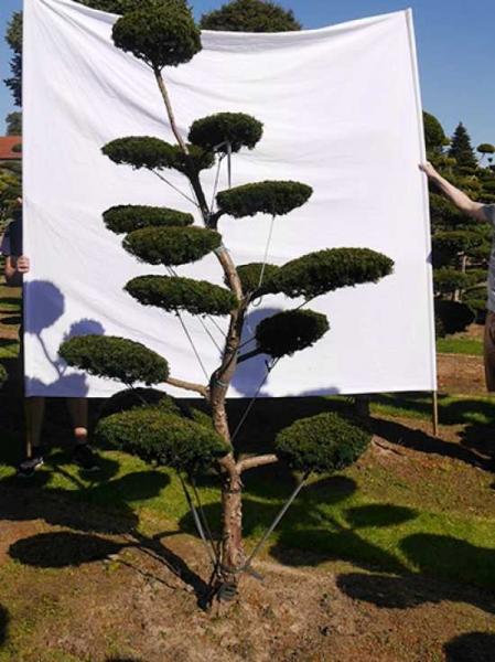 Taxus media 'Hillii' H: 240 cm B: 130 cm / Garten-Bonsai (0101)