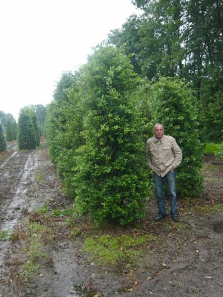 Ilex aquifolium / Stechpalme 300-350 cm Solitär mit Drahtballierung