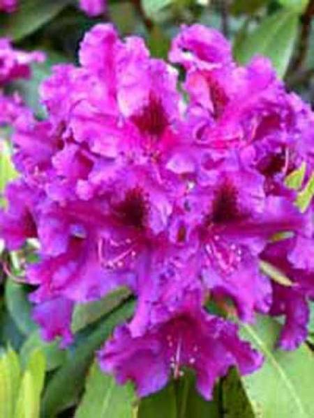 Rhododendron Hybride 'Azurro' / Rhododendron 'Azurro'