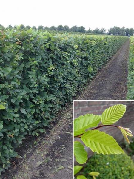 Carpinus betulus / Hainbuche / Fertighecke / Heckenelement 150 cm