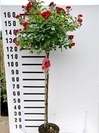 Stamm 110 cm