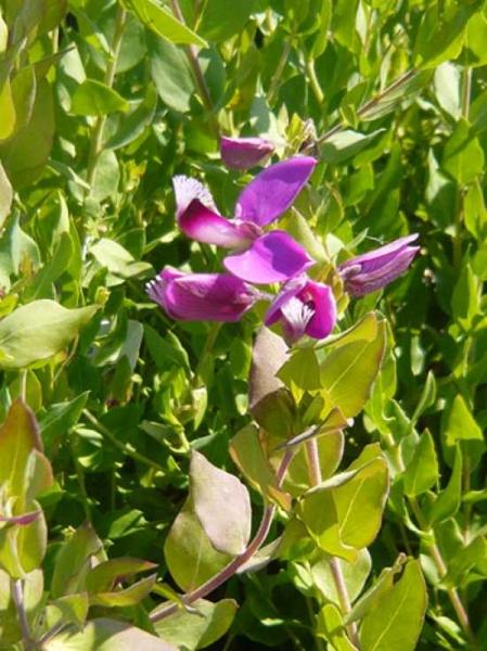 Polygala myrtifolia / Myrten-Kreuzblume