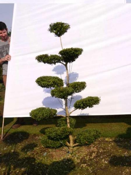 Buxus sempervirens H: 150 cm B: 80 cm / Garten-Bonsai (0083)