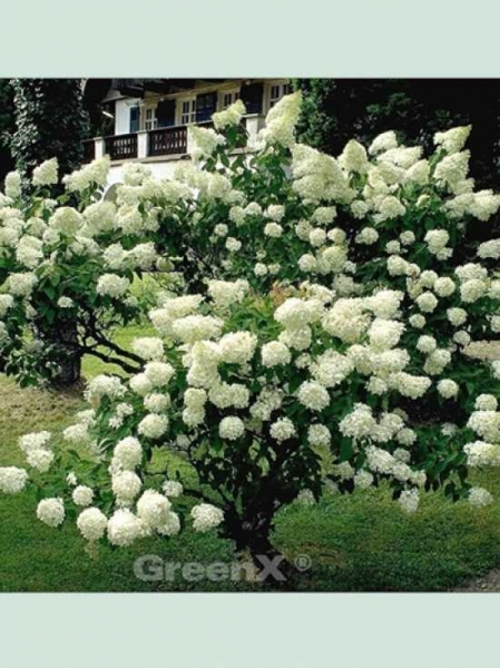 Hydrangea paniculata 'Grandiflora ®' / Rispen-Hortensie 'Grandiflora'