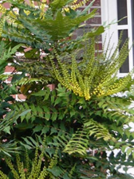 Mahonia japonica / Japanische Mahonie