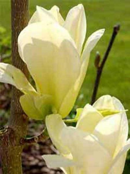 Magnolia brooklynensis 'Elizabeth' / Magnolie 'Elizabeth'