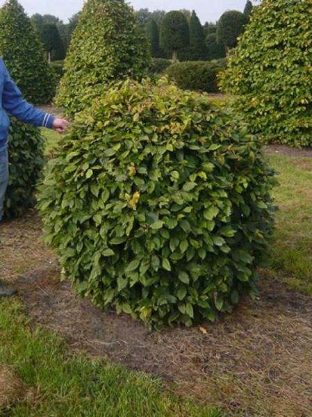 Carpinus betulus 'Kugel' / Hainbuche 'Kugel' 160-180 cm mit Drahtballierung