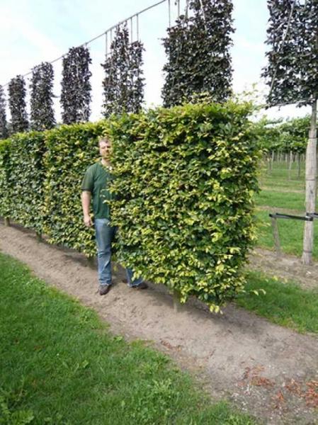 Carpinus betulus / Hainbuche / Weißbuche 'Boden-Spalier' H:150 B:150 T:20 (Stamm 50 cm)