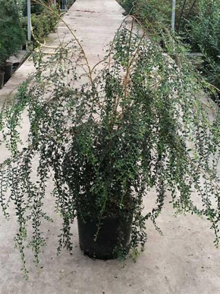 Azara microphylla / Kleinblättrige Azara / Immergrüne Azara