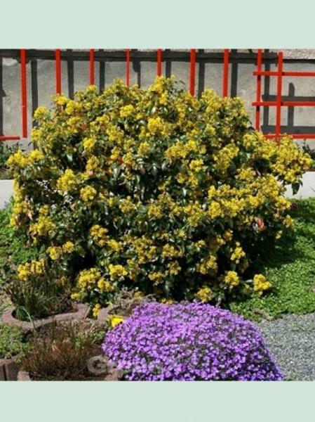 Mahonia aquifolium / Gewöhnliche Mahonie