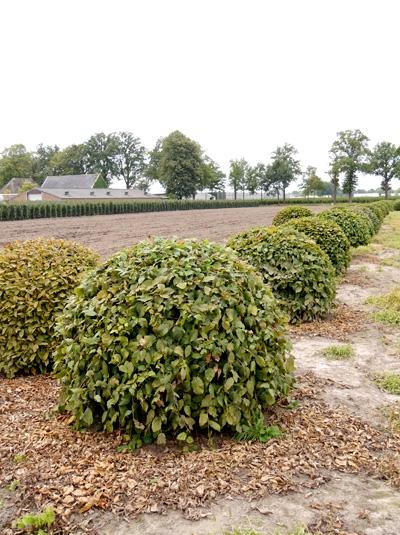 Carpinus betulus 'Kugel' / Hainbuche 'Kugel' 120-140 cm mit Drahtballierung