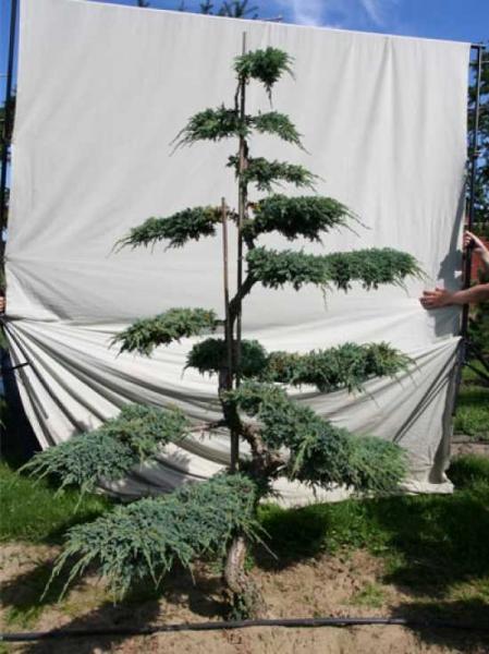 Juniperus squamata 'Blue Carpet' H: 220 cm B: 160 cm / Garten-Bonsai (306120)