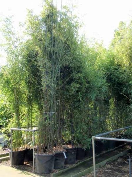 Phyllostachys aurea / Knoten-Bambus 350-400 cm im 70-Liter Container