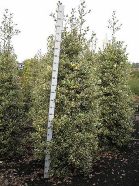 Ilex aquifolium 'Argentea Marginata' / weißbunte Gartenhülse 'Argentea Marginata' 200-250 cm Solitär mit Drahtballierung