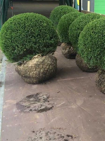 Ilex crenata 'Glorie Gem' Kugel / japanische Stechpalme 'Glorie Gem' 90-100 cm mit Drahtballierung