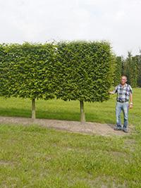 Spalier Stamm 100-150cm