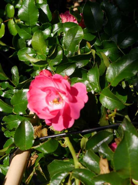 Rosa Heidetraum Bodendeckerrose Heidetraum Gunstig Kaufen